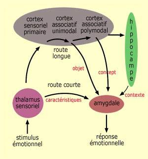 amygdale2