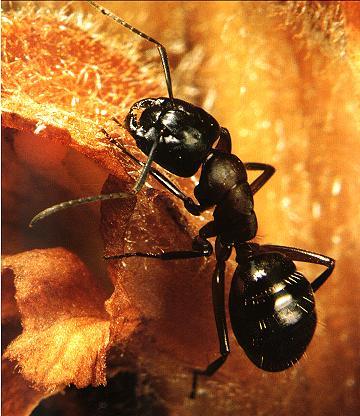 fourmi-noire