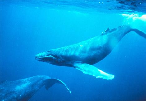 humpback-whales-singing
